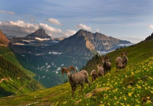 Glacier National Park - Bighorn Sheep